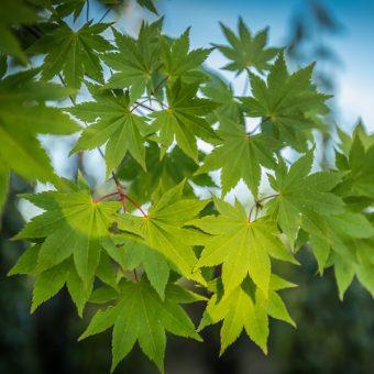 Acer Palmatum Mart Brugel